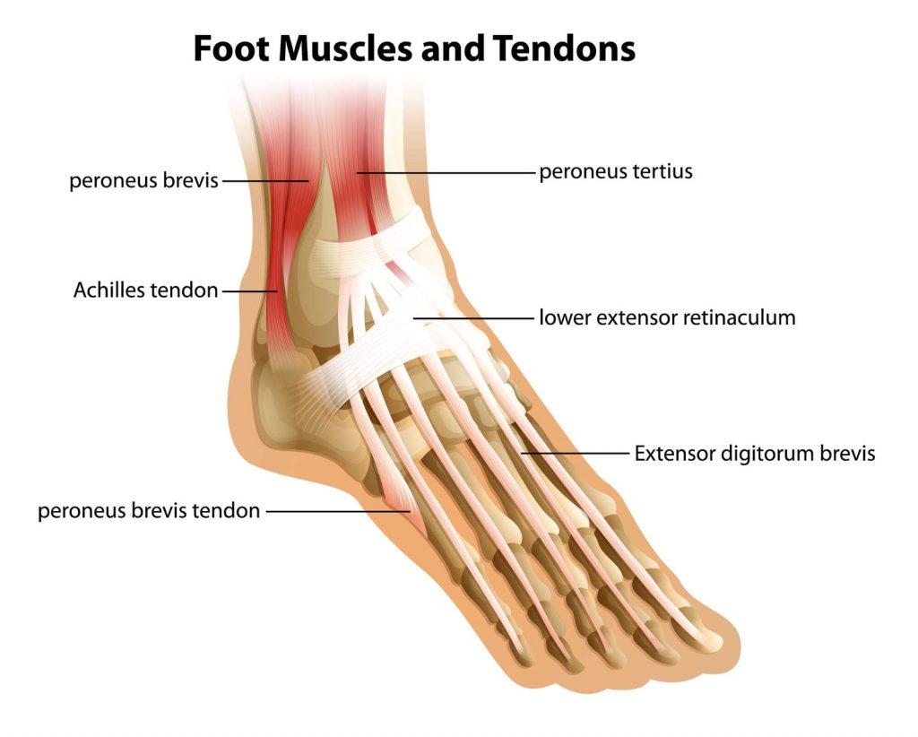 foot extensor